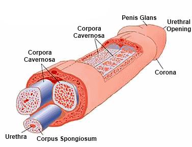 összehúzódott a pénisz