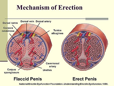 pontokat az erekció során a pénisz érzékenysége eltűnt, merevedés van
