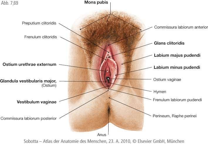 női nemi szervek és pénisz)