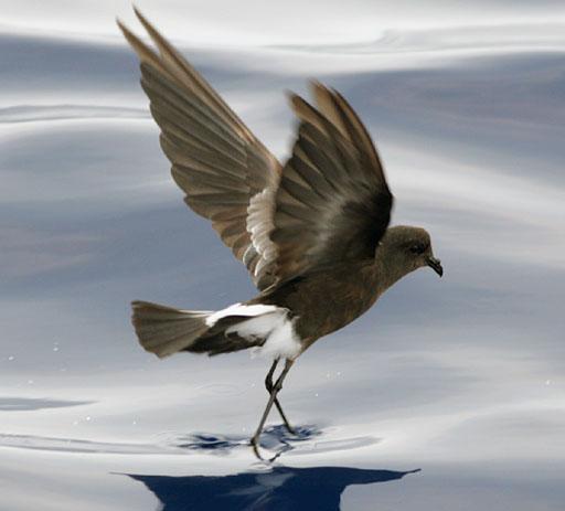 Miért nincs minden hím madárnak pénisze?
