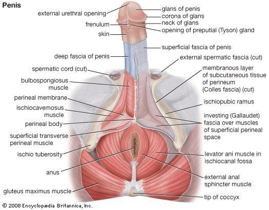hogyan lehet emelni a péniszét egy férfinak)