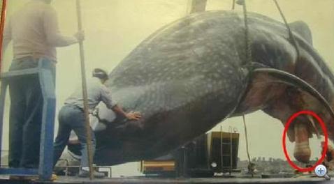 legnagyobb pénisz bálnák szabadfogású birkózó erekció