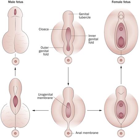 hogy a pénisz fejlődése