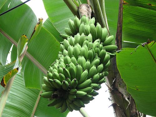 a banán befolyásolja az erekciót)