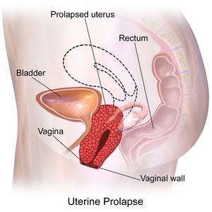 a pénisz prolapsusa a csincsillában)
