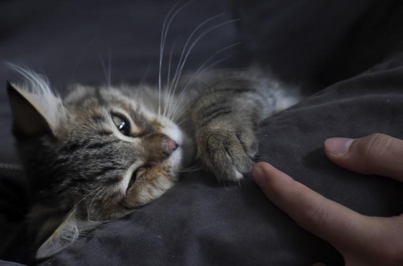 macska megnyalja a péniszét)