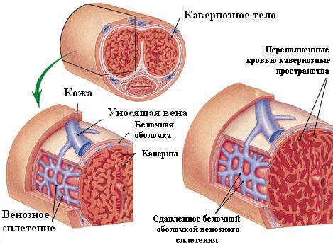a perineumban lévő erekció során