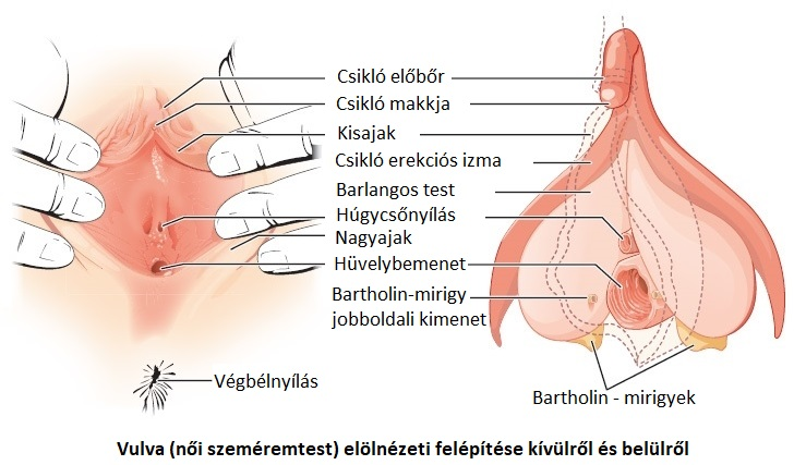 belülről erekció