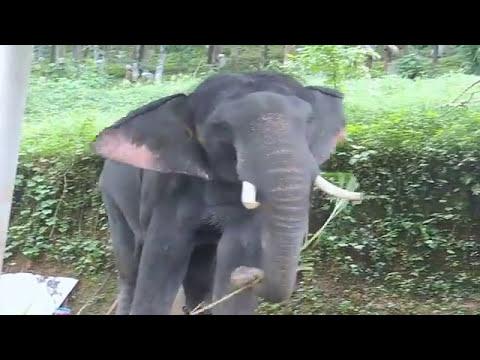 erekciós elefánt