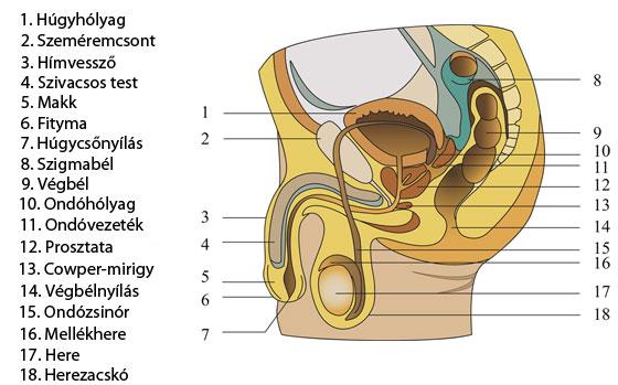 pénisz kitöltése a péniszből folyadék szabadul fel az erekció során