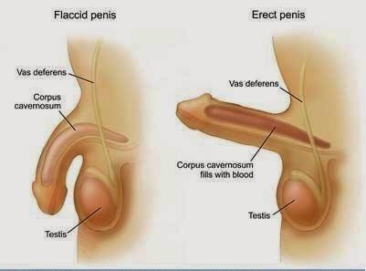 hogyan lehet a pénisz növekedése