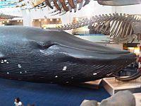 legnagyobb pénisz bálnák eltűnik az erekcióm