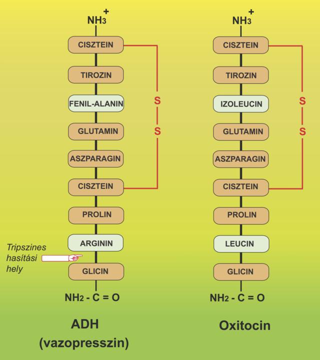 Húgycső fejlődési rendellenesség, húgycsőhasadék | Urológiai Klinika