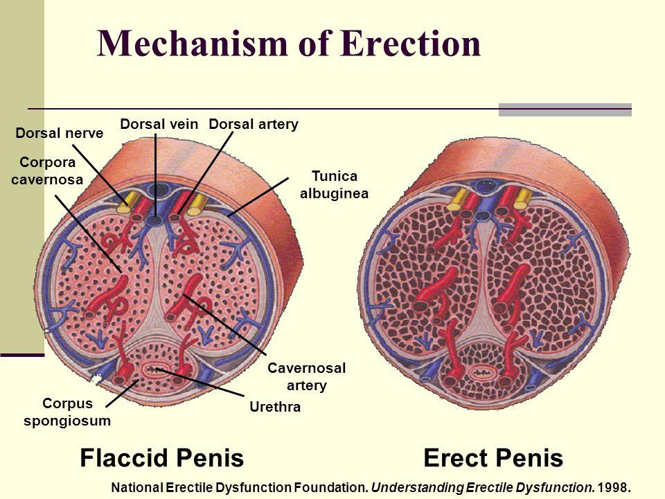 az erekció az)