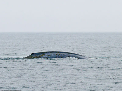 legnagyobb pénisz bálnák)