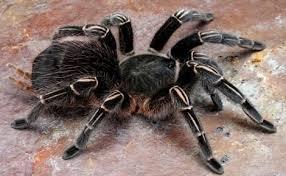 Erekciót előidéző pók petéit találta a banánban, amit vett