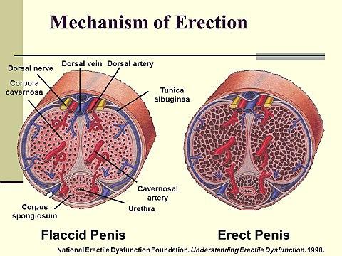 közösülés előtt az erekció meghajtja
