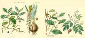 milyen gyógynövények a merevedéshez