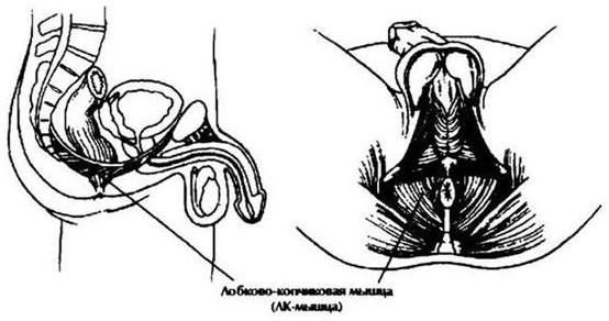 kegel gyakorlatok az erekcióhoz