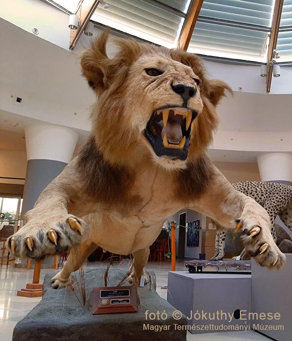 oroszlán pénisz hossza)