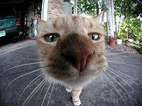 macska pénisz szerkezete)