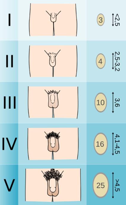 férfi méretek és pénisz típusok)