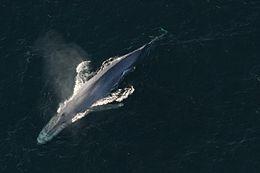 legnagyobb pénisz bálnák prosztata masszázs nincs erekció