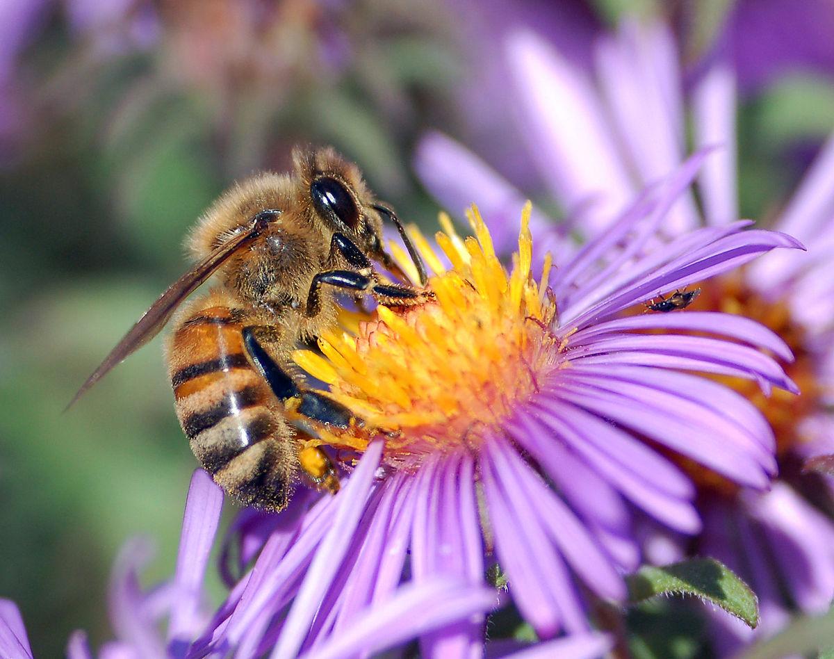 méh pollen az erekcióhoz)